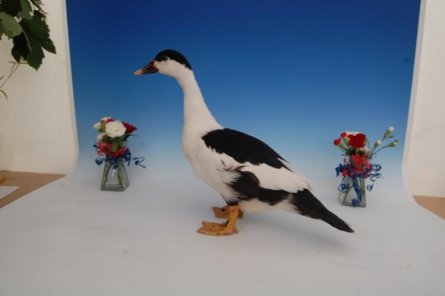 BEST IN SHOW | B DALTON MUSCOVY