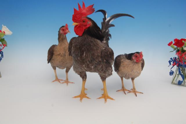 BEST HARD FEATHER BANTAM  AND  BEST TRIO