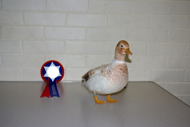Best Junior : H POWELL Call Duck